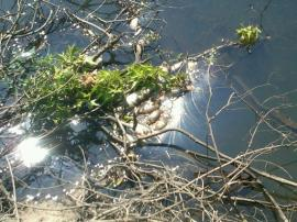 Floating dead fish along a strectch of the Ogeechee River